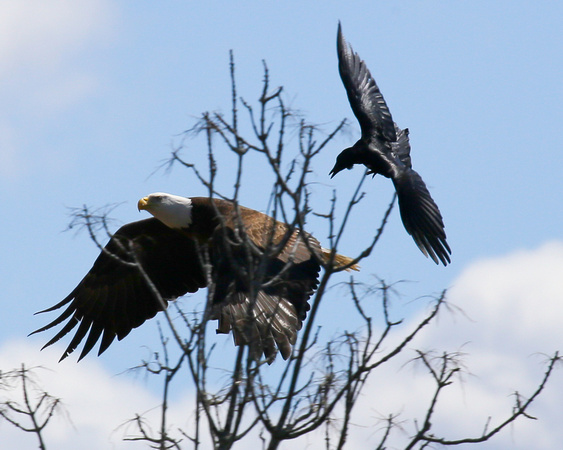 AMERICAN BALD EAGLE HARASSED BY CROWS_0135-1